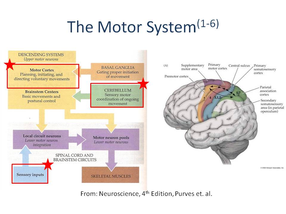 Diagram of the motor system and the parts of the brain involved in movement