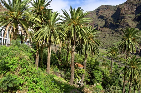 La Gomeran Palm Tree