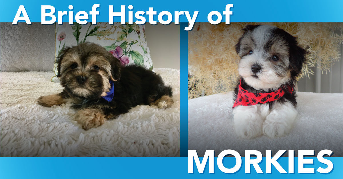 A Brief History of Morkies | Contented Puppies Paradise