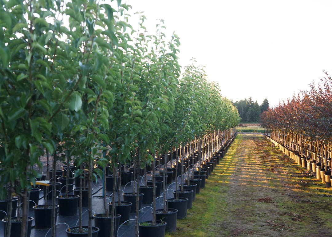 Ornamental pear trees and Crabapple trees at Garden Gate