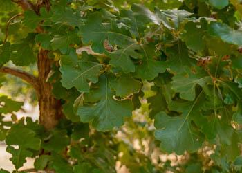 Oak tree leaves at Garden Gate Nursery