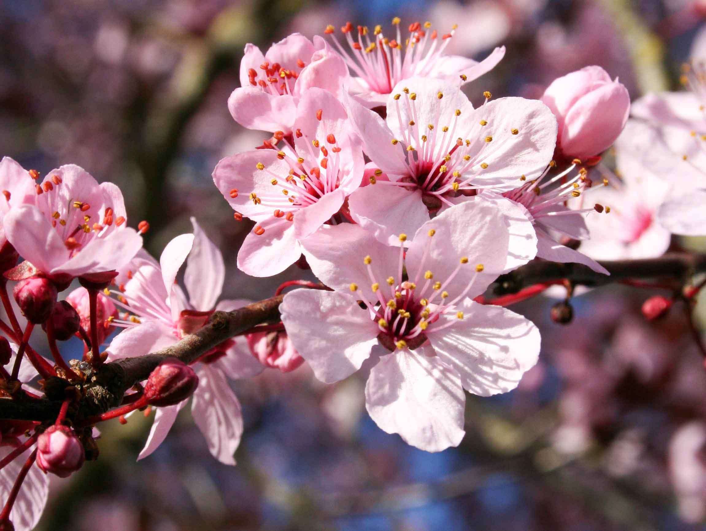 Flowering Plum Tree Flowers