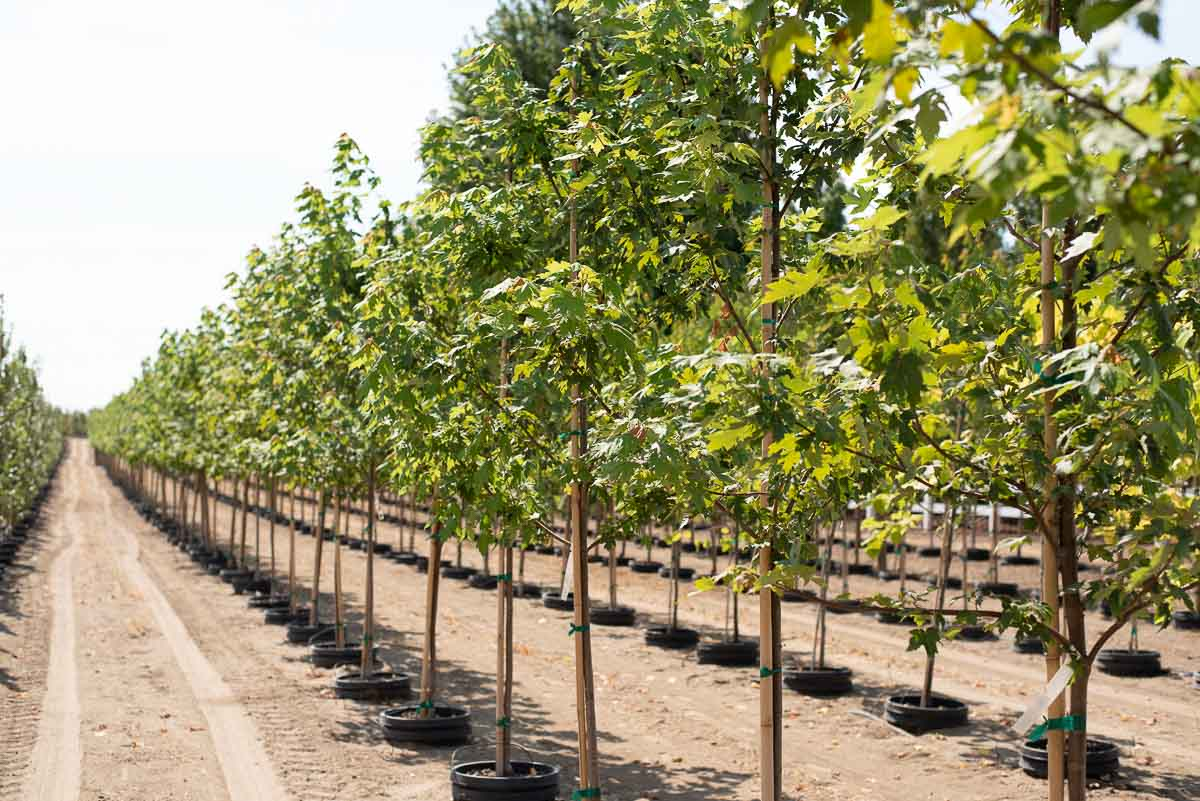 Row of Maple Trees at Garden Gate Nursery.