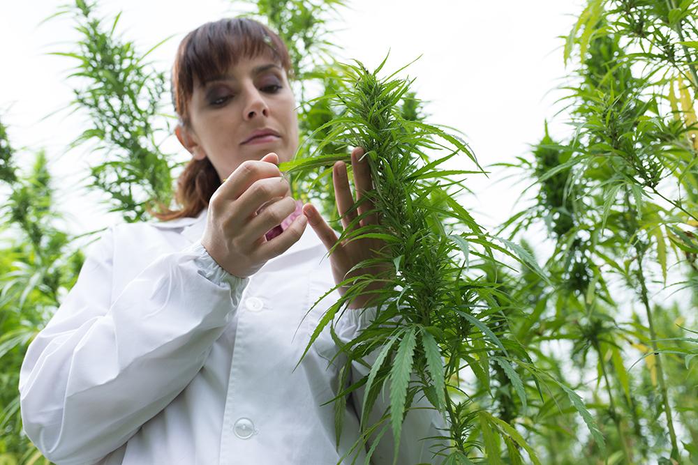 SampleTHC cannabis sampling and reporting