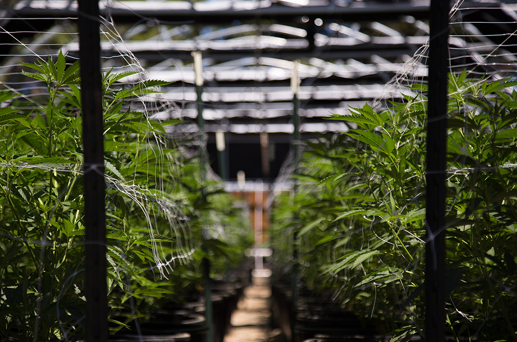 Webinar | What Employers Need to Know About the New Legalized Marijuana Law