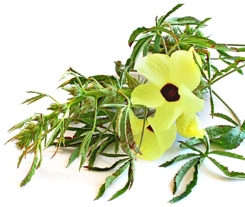 Blooming kenaf flower and stalk