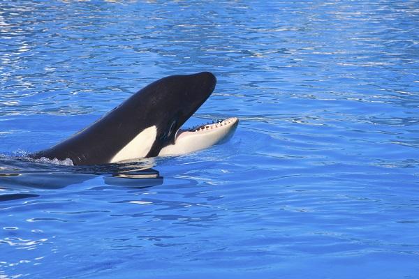 Killer Whale Loro Parque