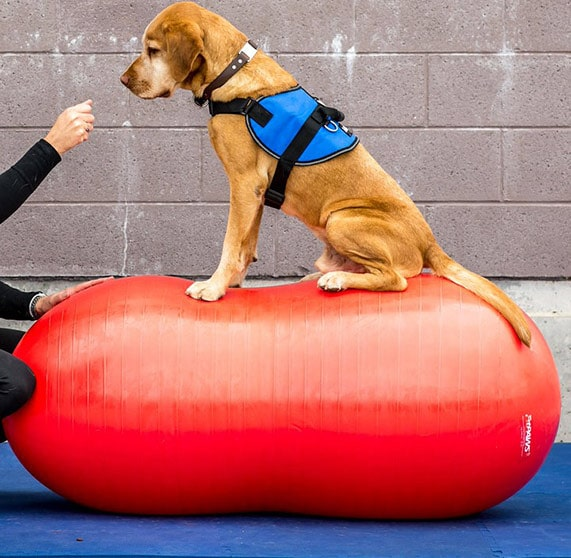 Use indoor exercise equipment for service dogs.