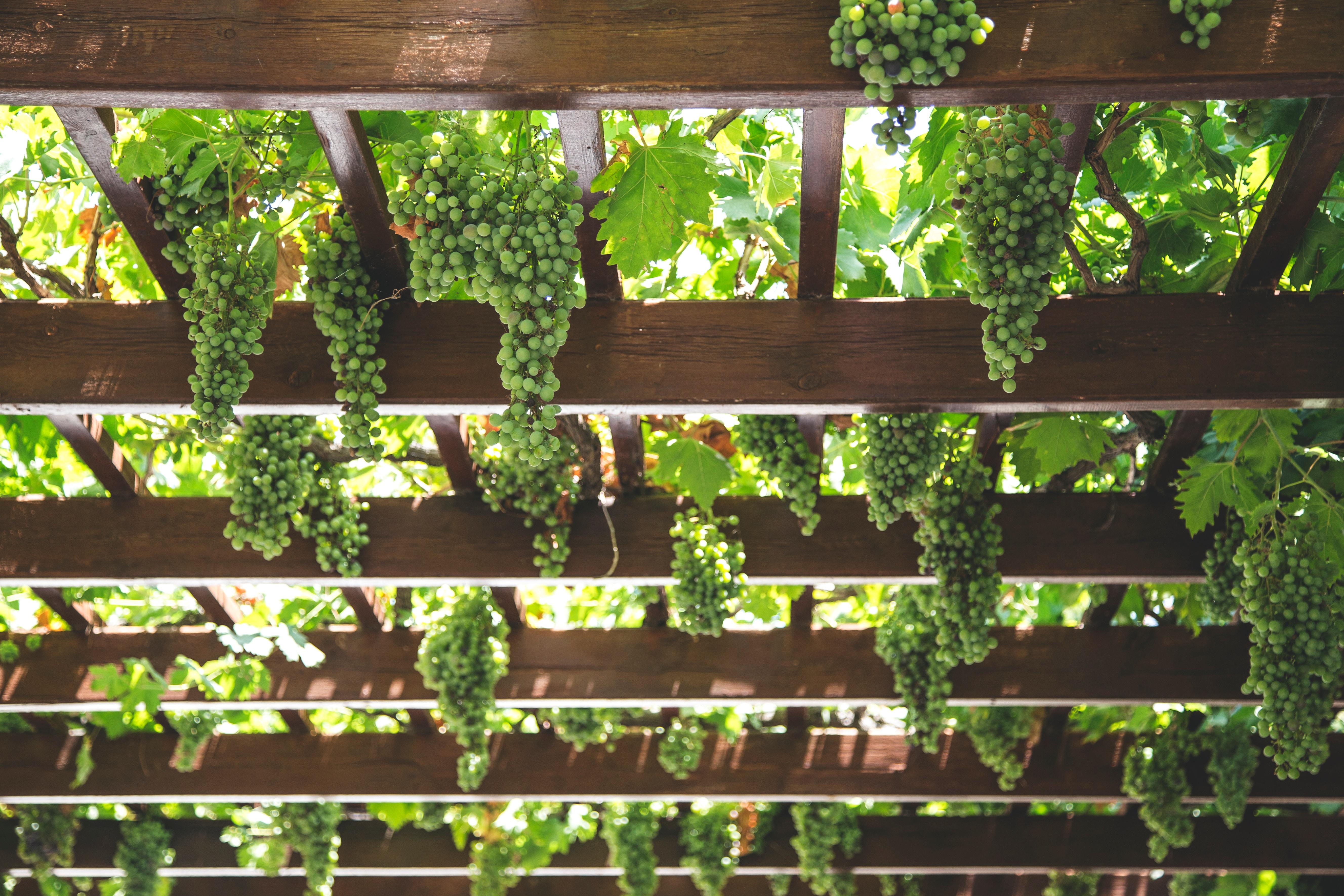 green grapes hanging onwooden frame