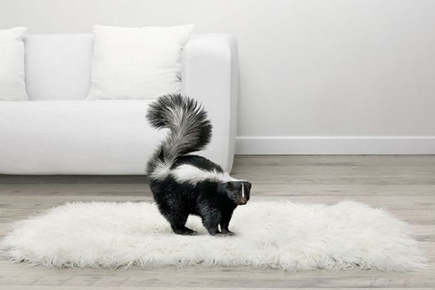 skunk on carpet