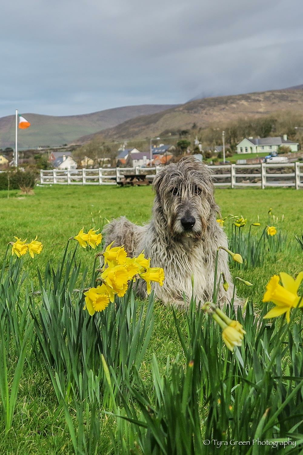Seamus the Wolfhound among the daffodils at Milltown House, home of Essential Ireland Tours