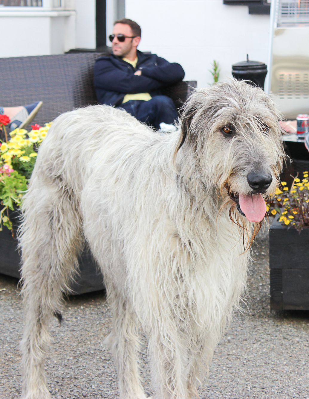 Seamus the Wolfhound, mascot of Essential Ireland Tours, in the garden at Milltown House