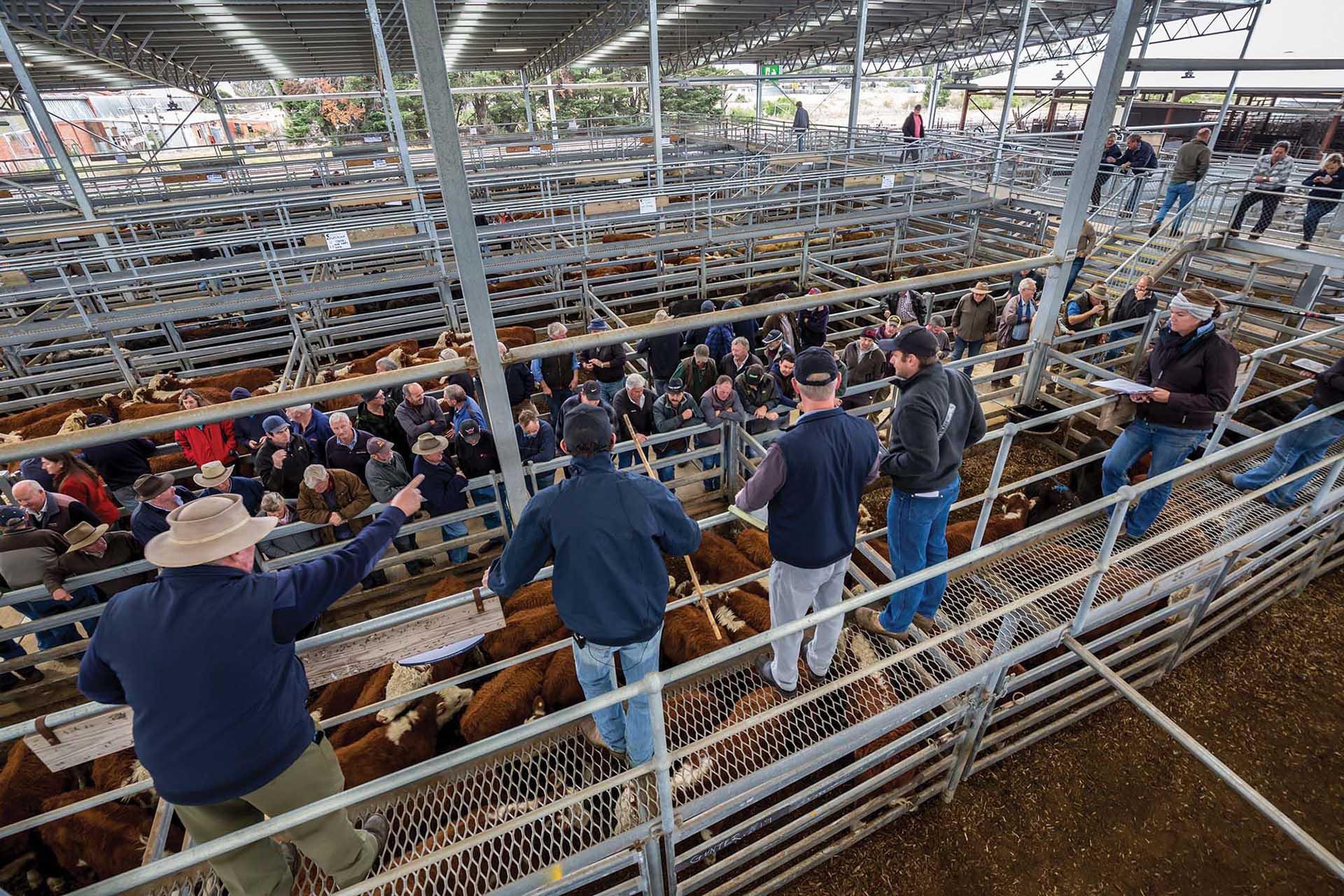Market at Gippsland Regional Livestock Exchange.