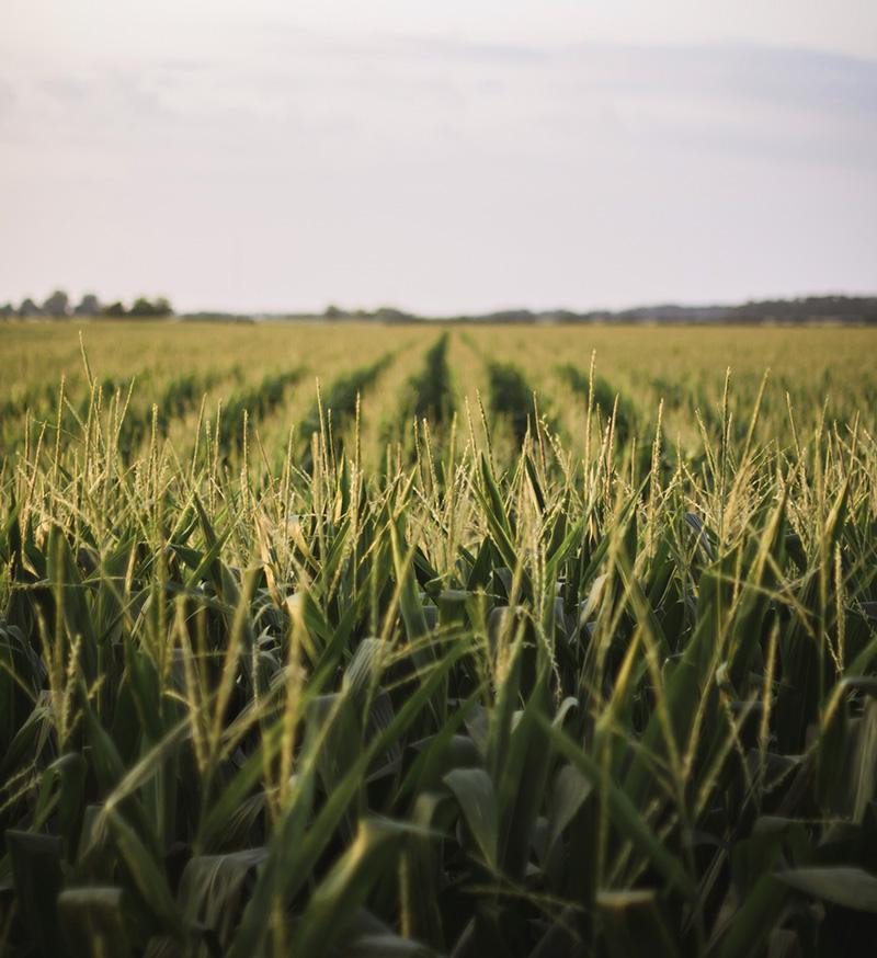 channel corn