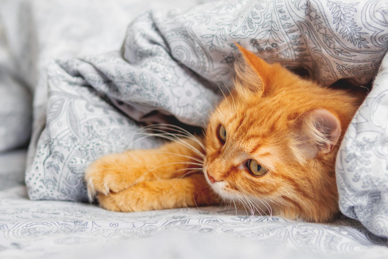 ginger cat in a blanket