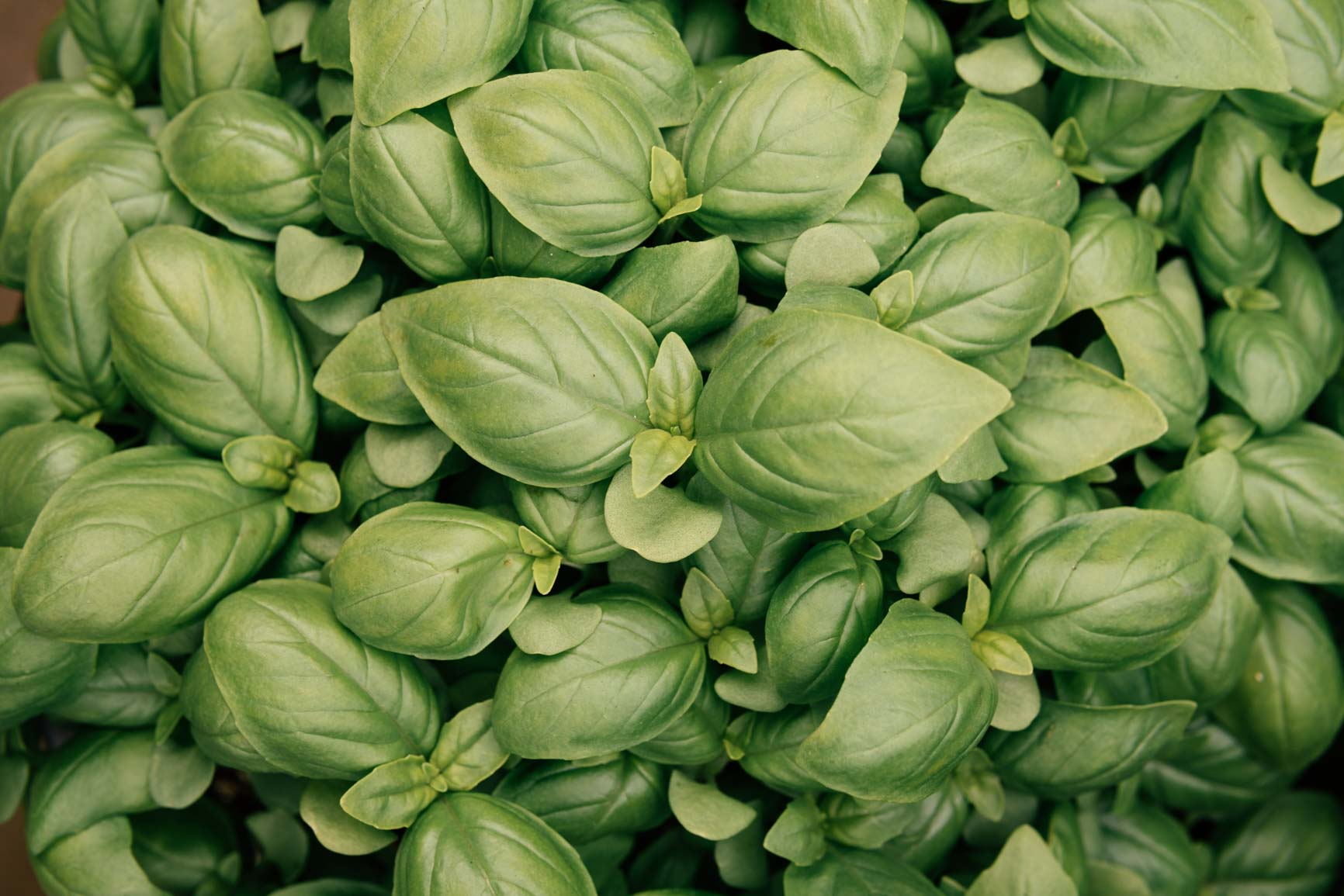 Basil plants from above