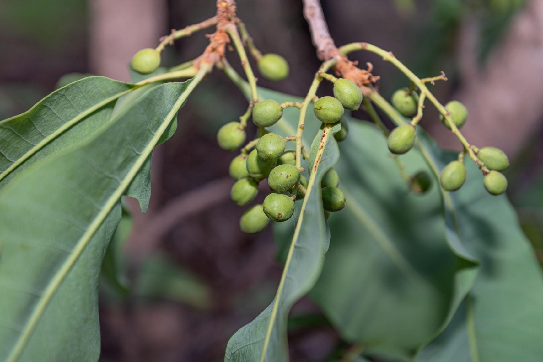 Indigenous berry bush