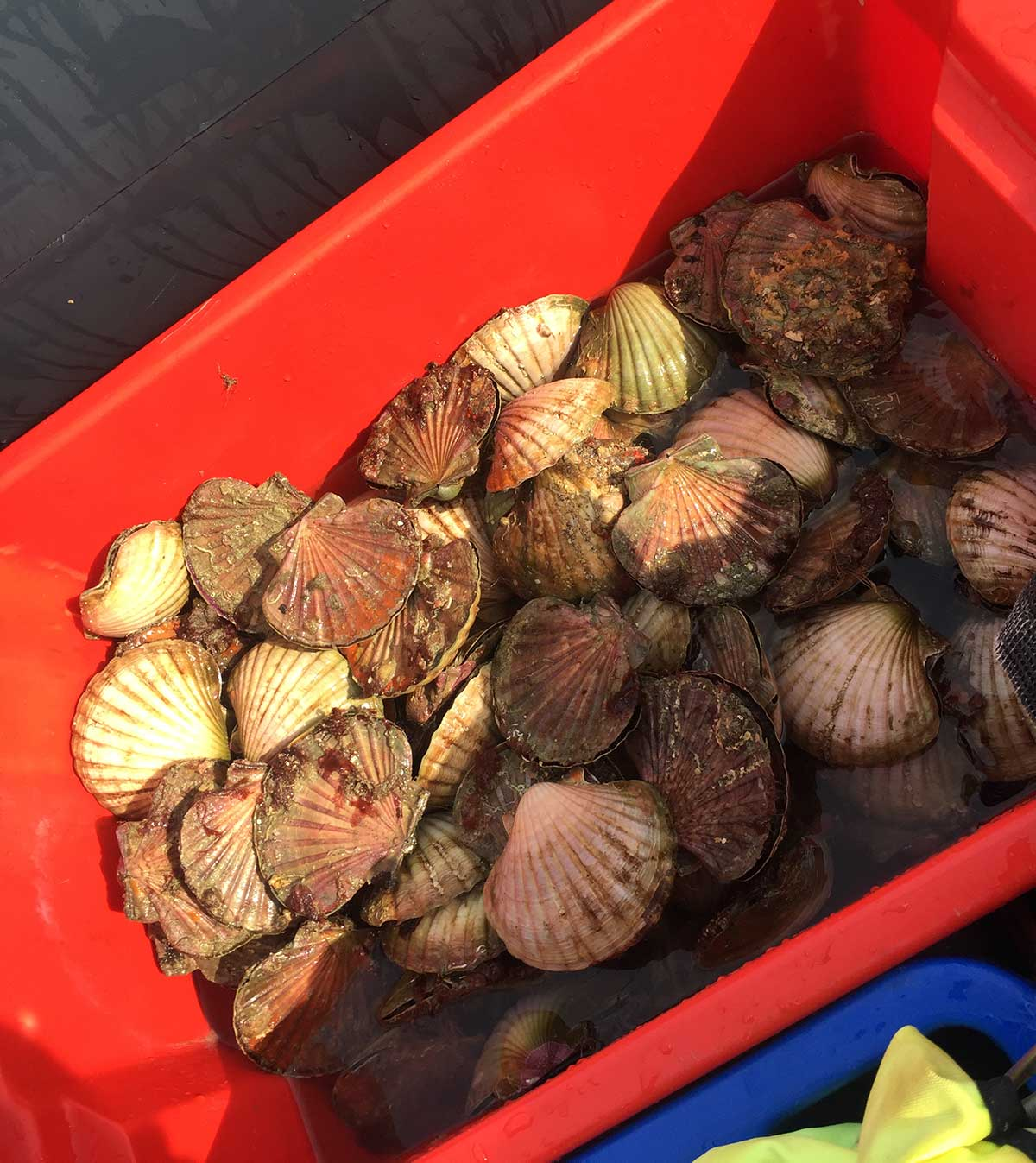Scallop season is here: need to knows