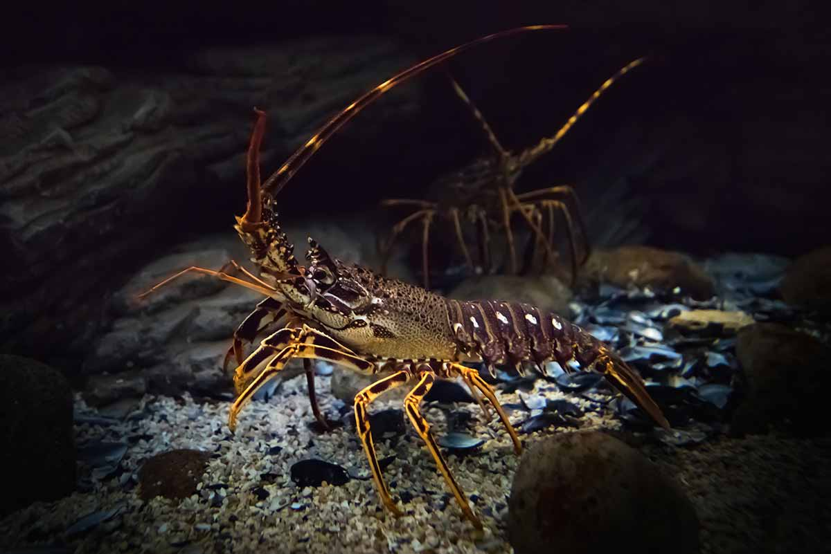New recreational crayfish rules for the CRA 2 and CRA 5