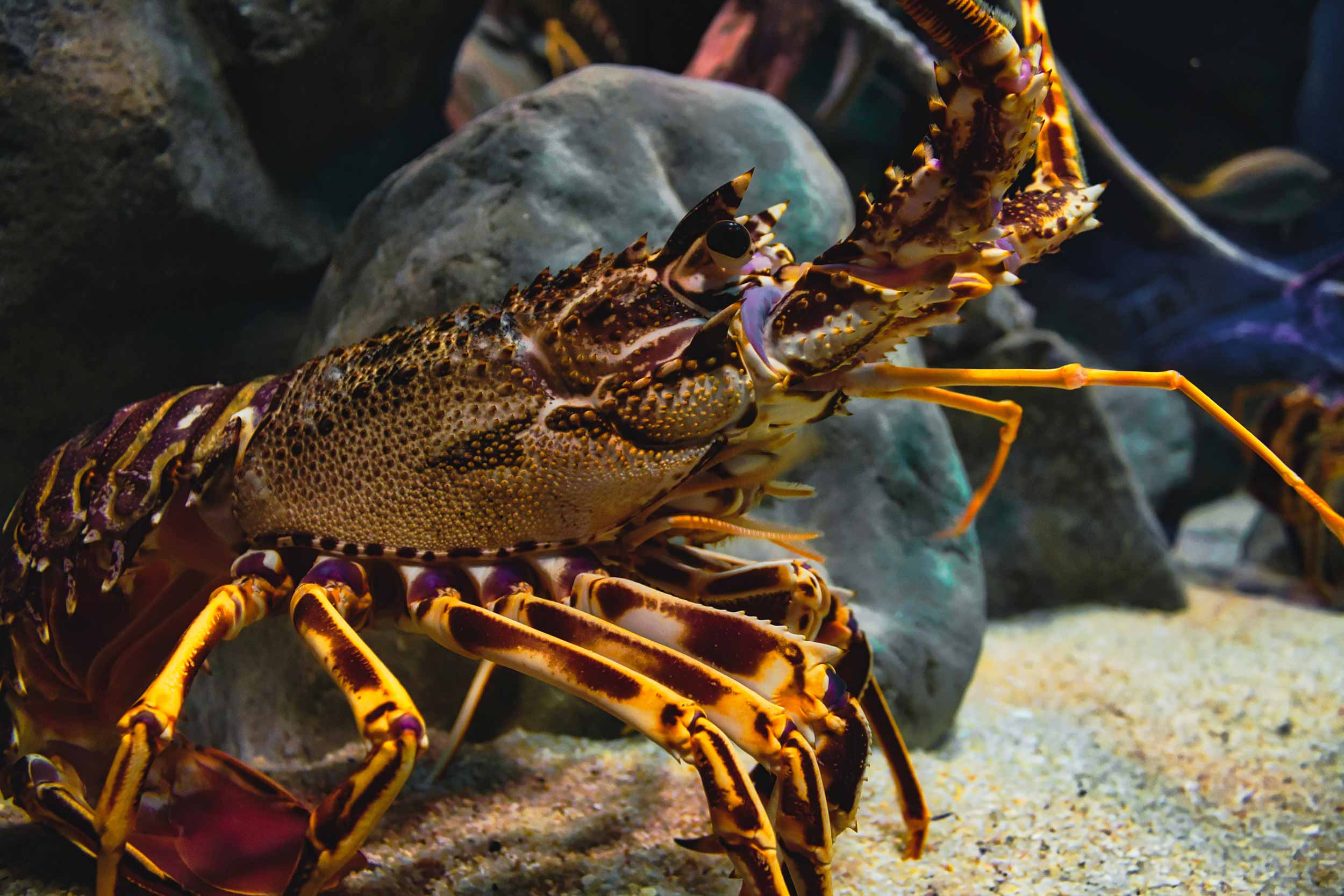 Proposed crayfish minimum legal size change in CRA3 consultation