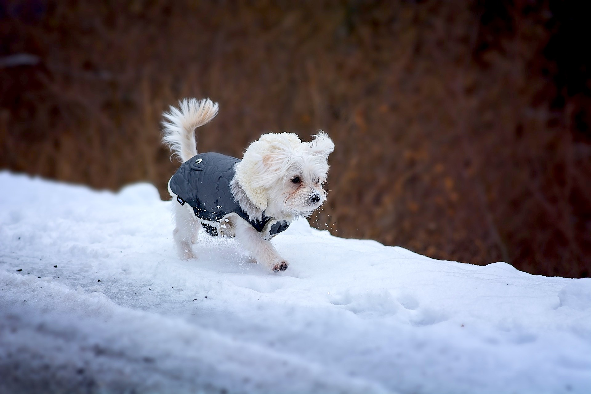 Dapper little gent in the snow