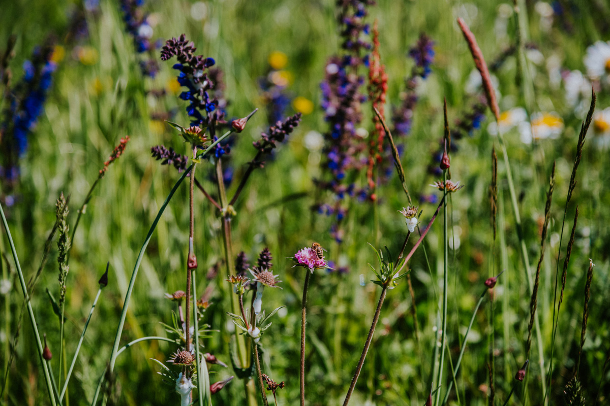 Zaplana travniki