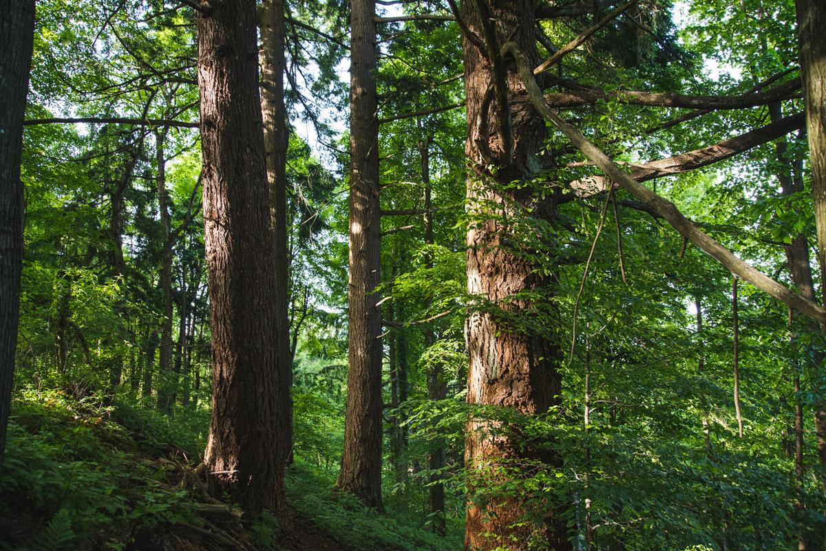Zaplana drevesa