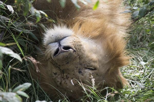 Lion Kenya Elodie