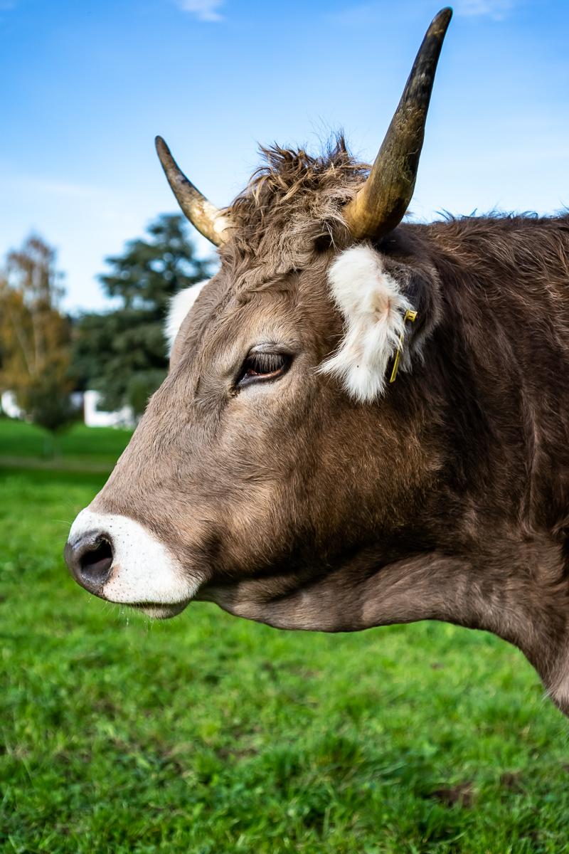 Kuh-Profil