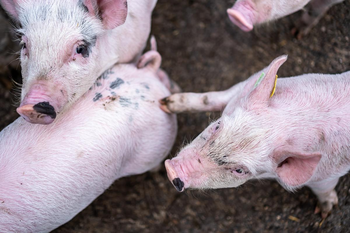 Baby-Schweinchen im Glück