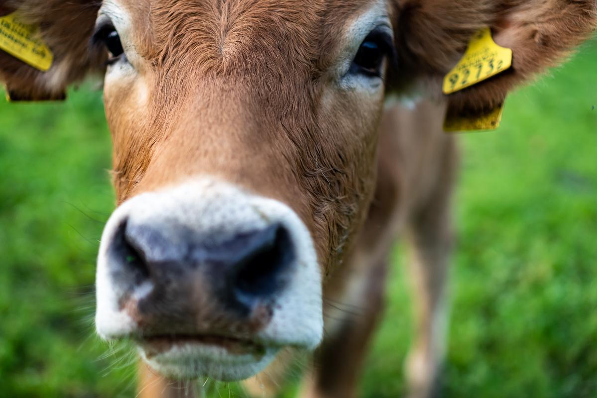 Glückliche Kühe