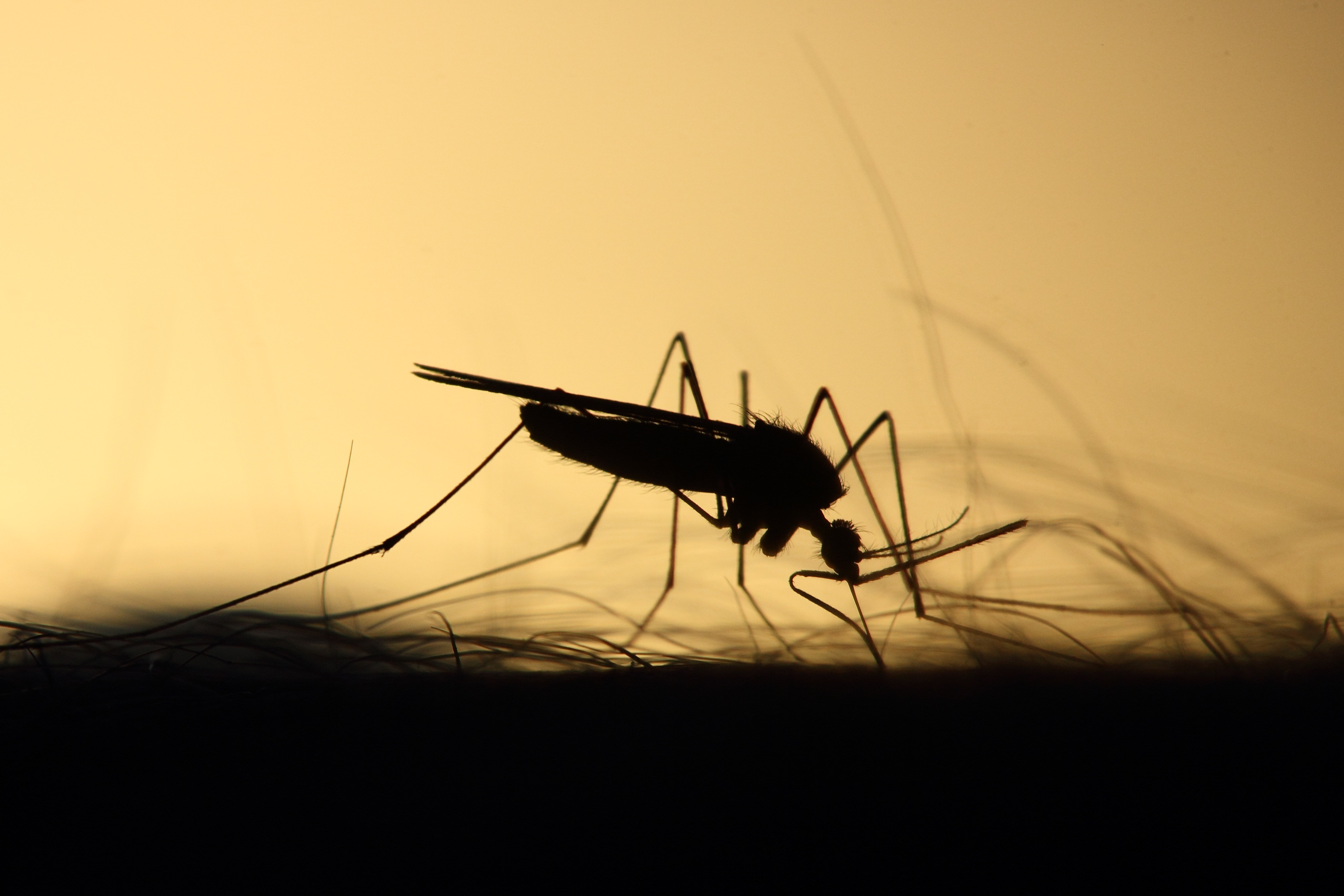 Silhouette of a mosquito on somebody's arm