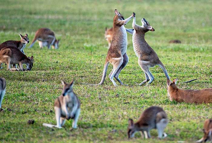 kangaroos sterotypical australian photo