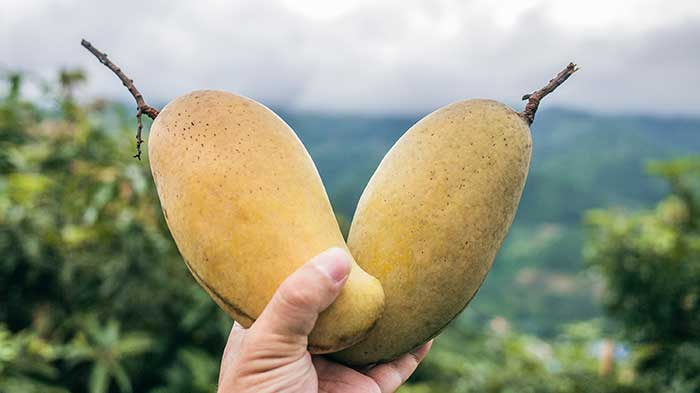 Australians mangos full of myrcene like cannabis