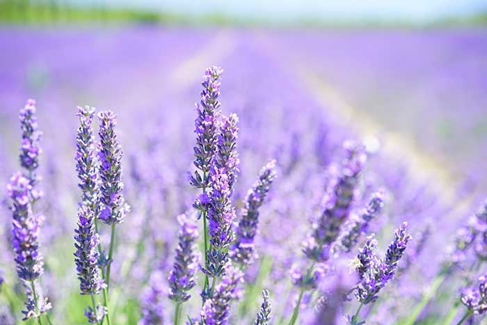 linalool lavender and cannabis terpene