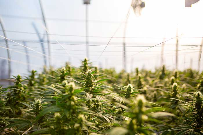 indoor hemp and cannabis out door legal australia