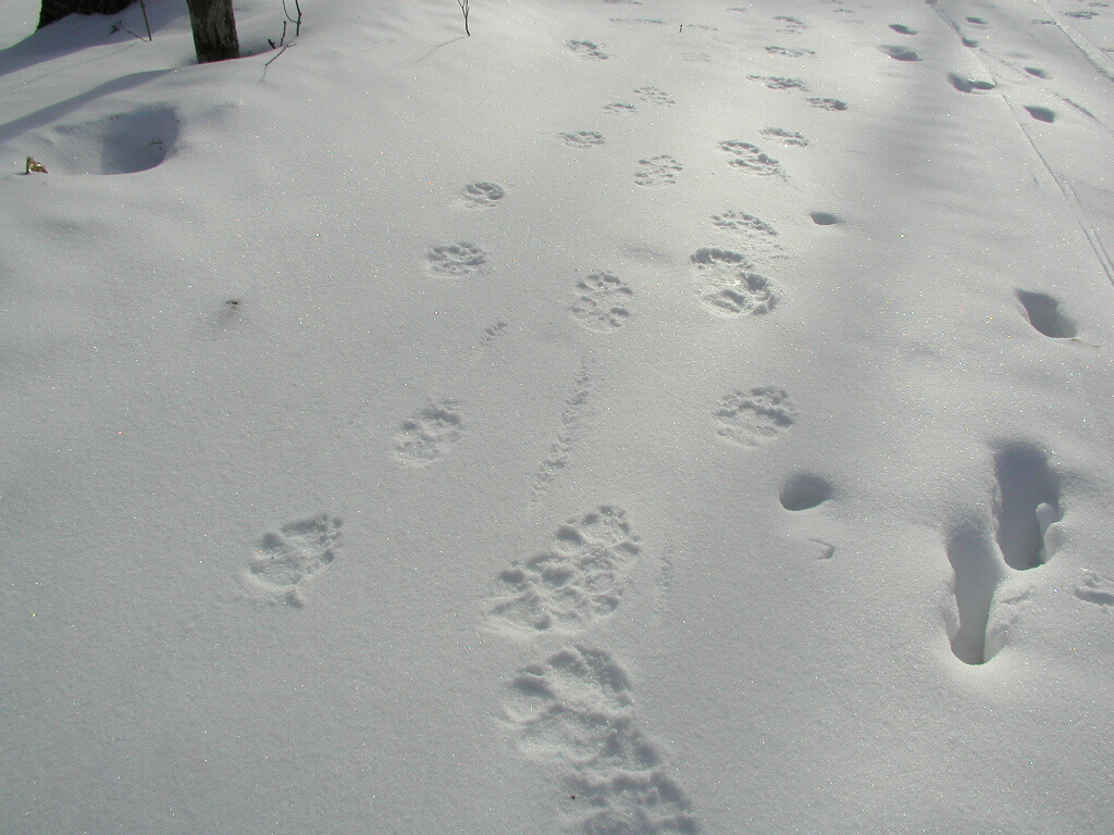 animal tracks January 2011