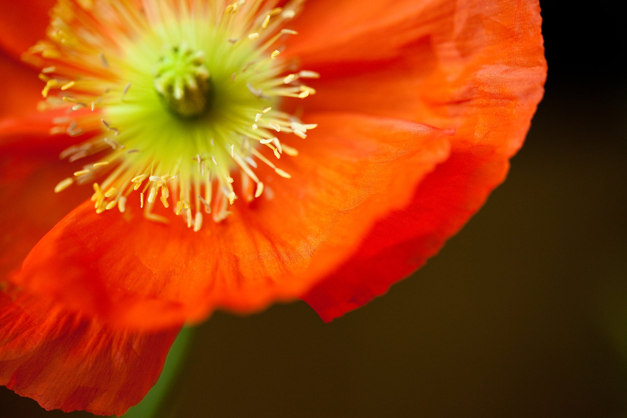 Poppy - Daniel Berman Photograhy
