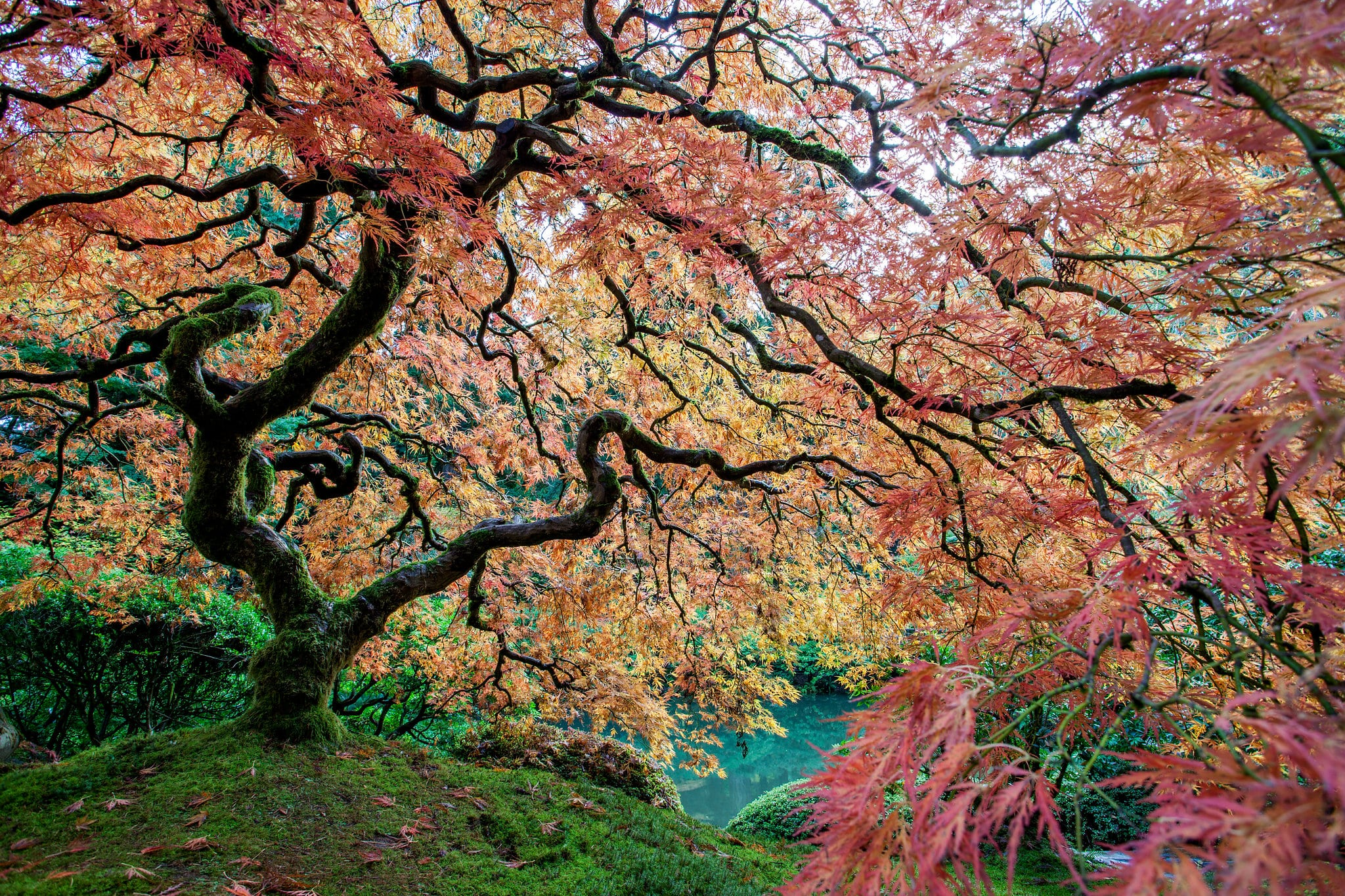Japanese Maples - Daniel Berman Photograhy