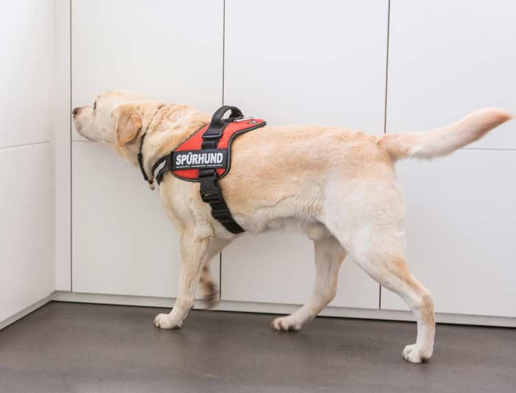 Der ausgebildete Schimmelspürhund in Aktion beim durchsuchen seiner Umgebung