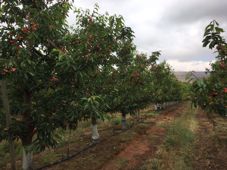 ZZ2 gears up for second cherry export deal