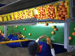 ZZ2 invests in a revamped tomato pack-house near Musina