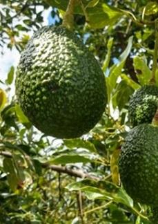 """Elena Rogojnikova of Hagé International: """"Huge avocado sales to retailers, the pandemic affects exports more, and volatile exchange rates"""""""