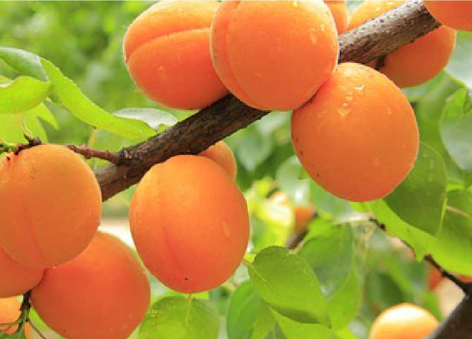 ZZ2 Apricots in a tree