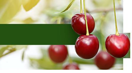 ZZ2 Cherries