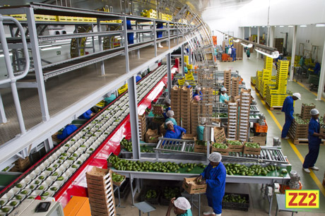 ZZ2 Avocados in the packhouse