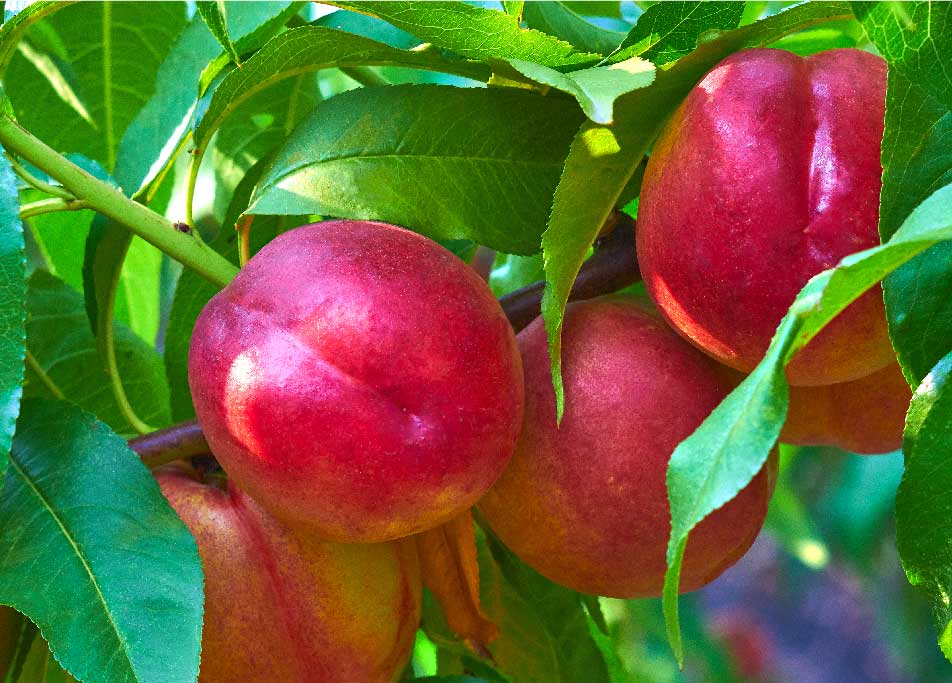 ZZ2 Nectarines in a tree
