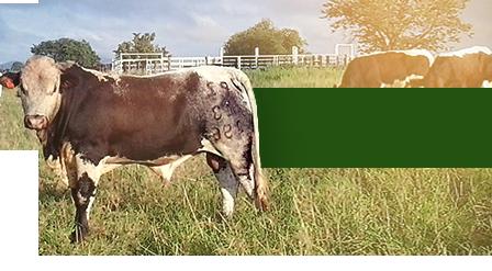 ZZ2 Cattle