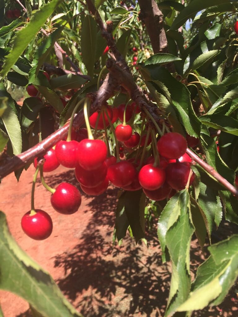 ZZ2 cherries hanging on the tree