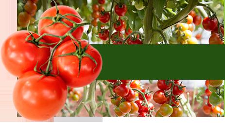 ZZ2 Tomatoes